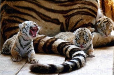 Новогодние тигрята. КрымФАН.
