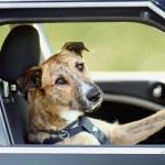 public://uploads/photos/driving_dogs_www.pixanews.com_-680x446.jpg