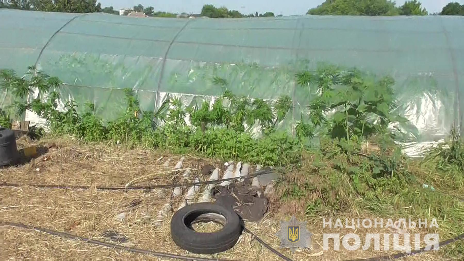 Посев или выращивание снотворного мака или конопли прикол марихуана