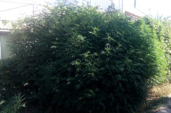 Конопля гиганты курящей марихуану
